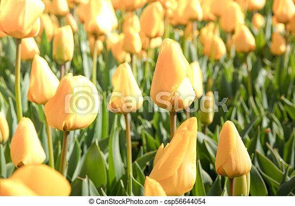 Beautiful yellow fresh tulips. Nature spring background - csp56644054