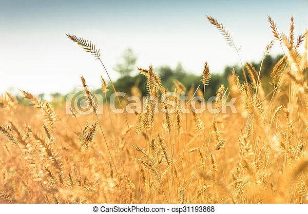Beautiful yellow grass - csp31193868
