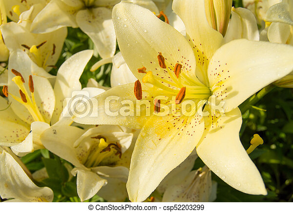 Beautiful Yellow Lilies Blooming In The Garden Summer Background