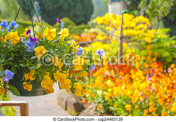 Beautiful yellow pansy flowers in hanging basket - csp24463139