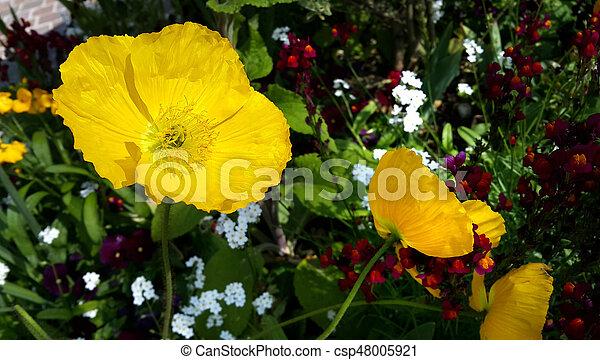 Beautiful yellow poppies closeup of bright beautiful yellow poppies beautiful yellow poppies csp48005921 mightylinksfo