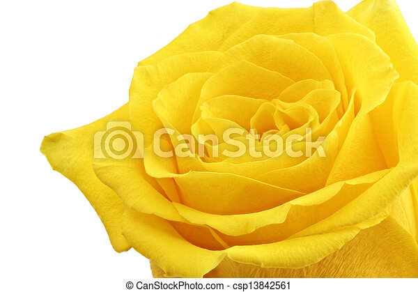 Beautiful Yellow Rose Flower Closeup Isolated Beautiful Yellow