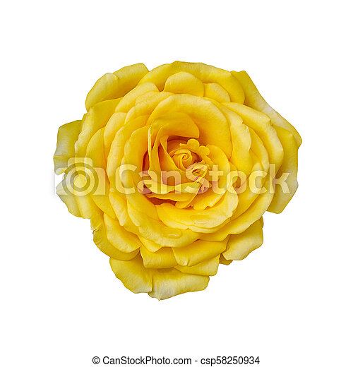 Beautiful Yellow Rose Flower Isolated On White Background Flower