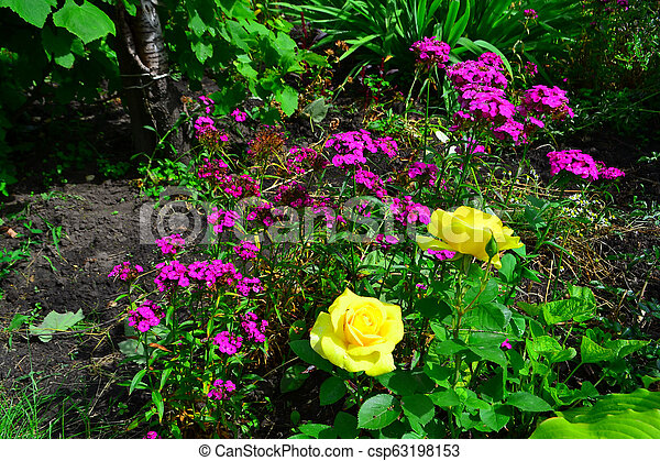 Beautiful yellow roses in garden with wildflowers, floral background - csp63198153
