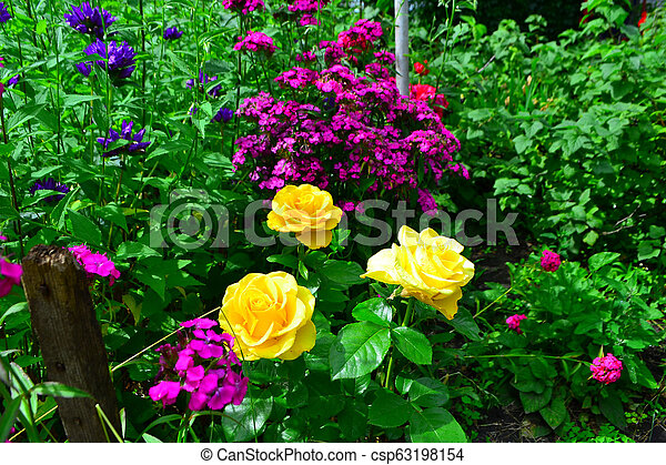 Beautiful yellow roses in garden with wildflowers, floral background - csp63198154