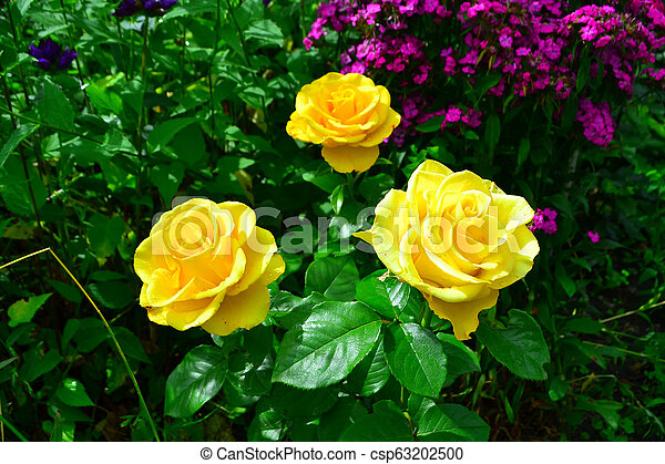 Beautiful yellow roses in garden with wildflowers, floral background - csp63202500