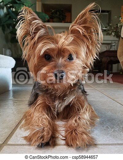 Beautiful Yorkie Yorkshire Terrier on Tile Floor - csp58944657