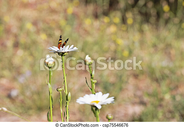 Beautifull Butterfly perched on the highest flower of a group of garden daisies - csp75546676