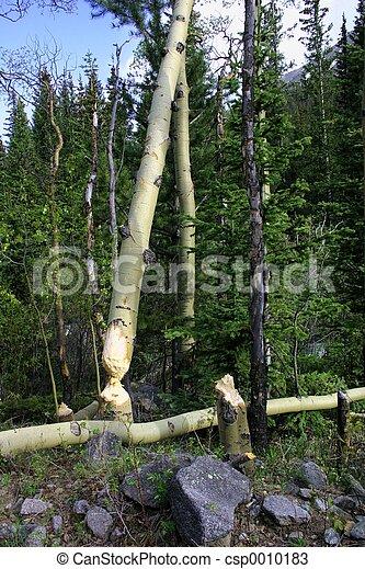 Beaver Trees - csp0010183
