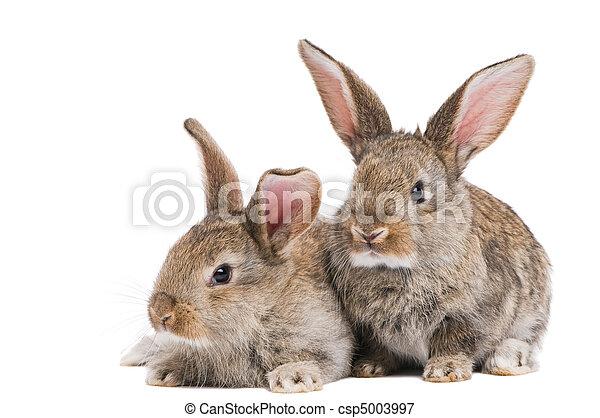Dos conejos bebés aislados en blanco - csp5003997