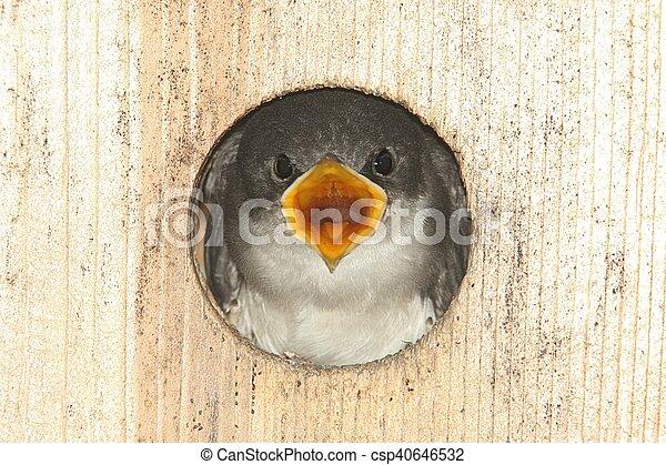 Golondrina de árbol en una casa de pájaros - csp40646532