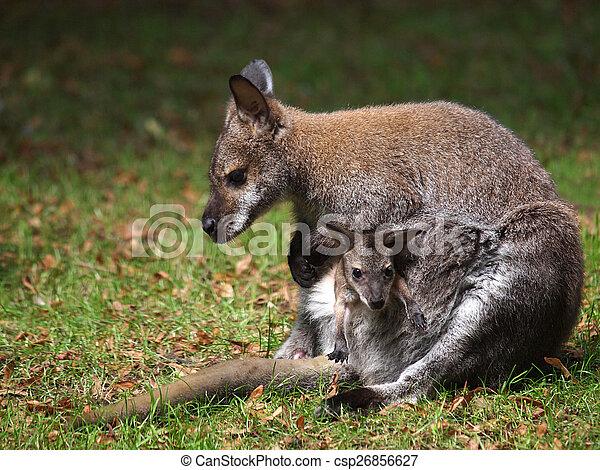 bebê, wallaby - csp26856627