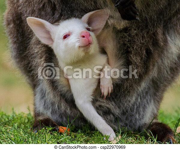 bebê, wallaby, bennett's, albino - csp22970969