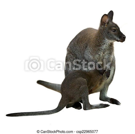 bebê, wallaby, red-necked - csp22965077