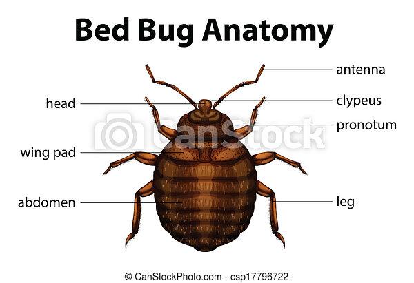 Bed bug anatomy. Illustration of the bed bug anatomy.