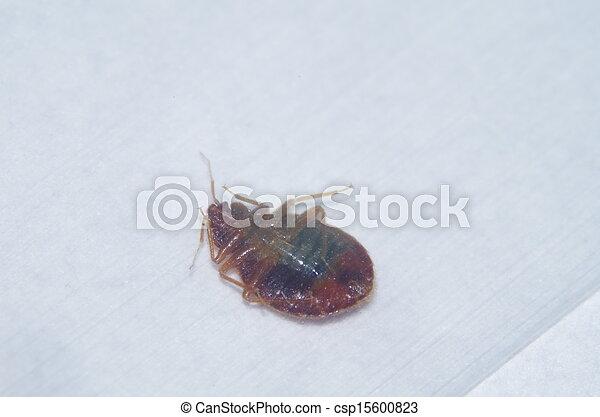 Bed Bug - csp15600823