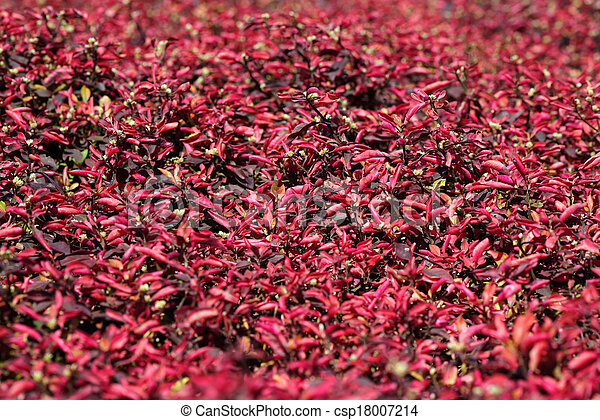 Bed of red flowers - csp18007214