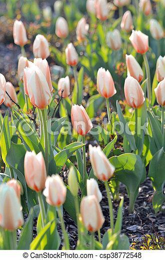 Bed of red tulips flowers - csp38772548