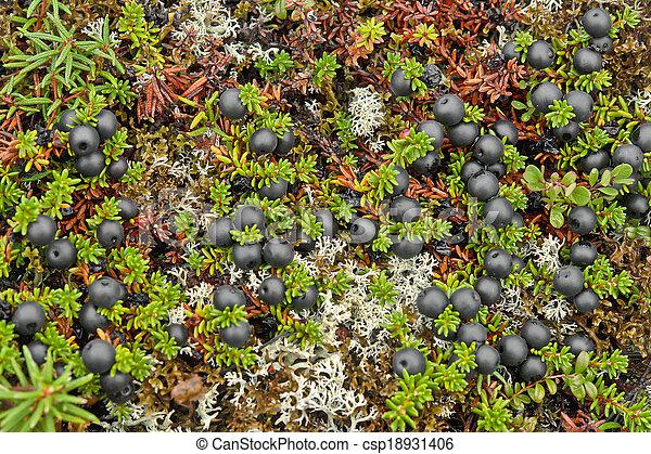 bedeckt, crowberry, beeren, tundra. - csp18931406