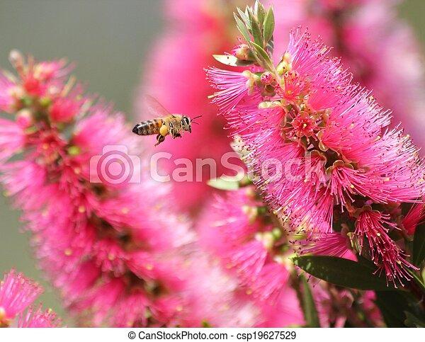 Bee and callistemon - csp19627529