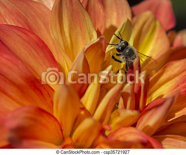Bee and Flower - csp35721927