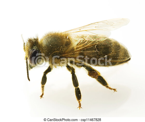Bee Closeup. Isolated On White  - csp11467828