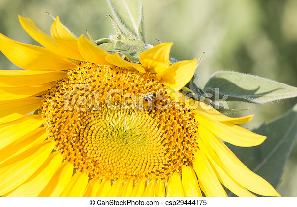 Bee Collects Pollen In The Sunflower - csp29444175