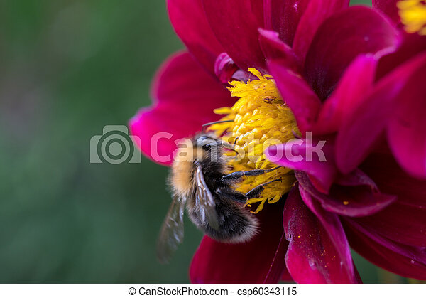 bee on a flower - csp60343115