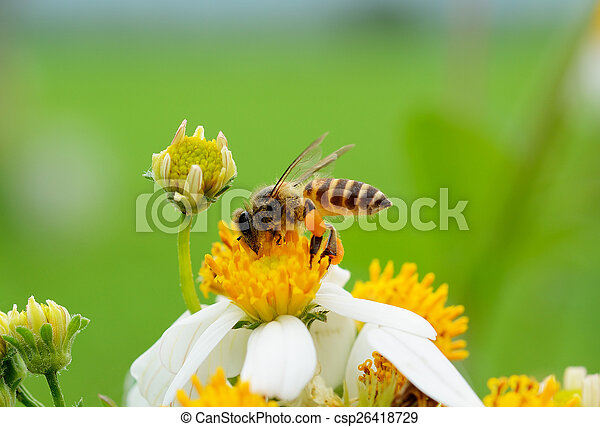 Bee on a flower - csp26418729