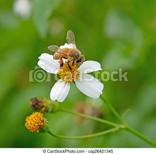 Bee on a flower - csp26421345