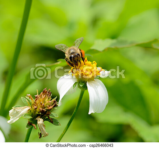 Bee on a flower - csp26466043