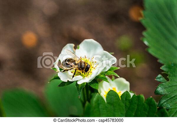 Bee on a flowerwhite flower strawberrystrawberry flower and leaves bee on a flowerwhite flower strawberrystrawberry flower and leavesa strawberry mightylinksfo