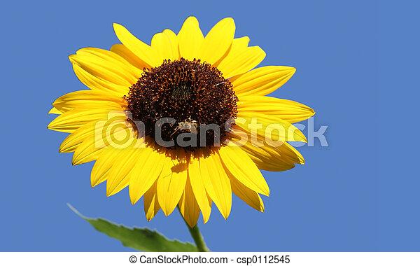Bee on a sunflower - csp0112545