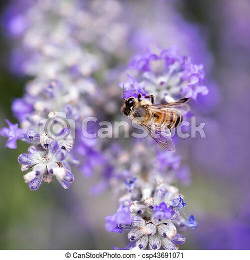 Bee on Lavender Soft Focus - csp43691071