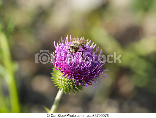 bee on the thistle - csp38799076