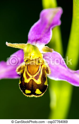 bee orchid on a meadow - csp37764069