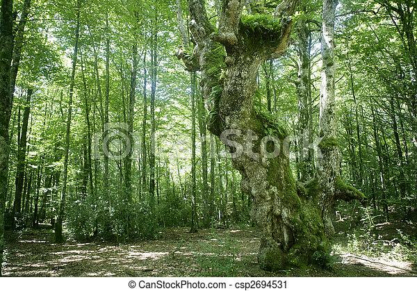 Beech green magic forest woods - csp2694531