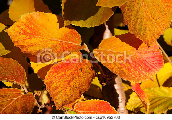 Beech Leaves in Fall - csp10952708