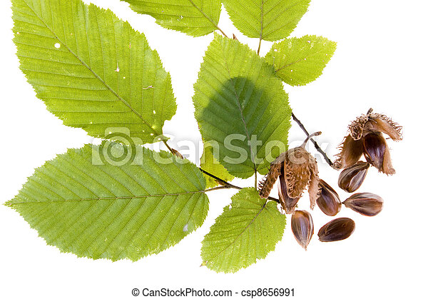 Beech nuts and leaves on white background - csp8656991