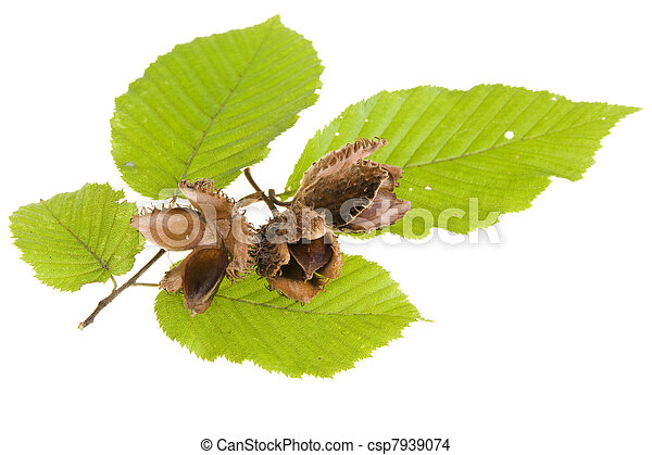 Beech nuts and leaves on white background - csp7939074