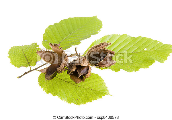 Beech nuts and leaves on white background - csp8408573