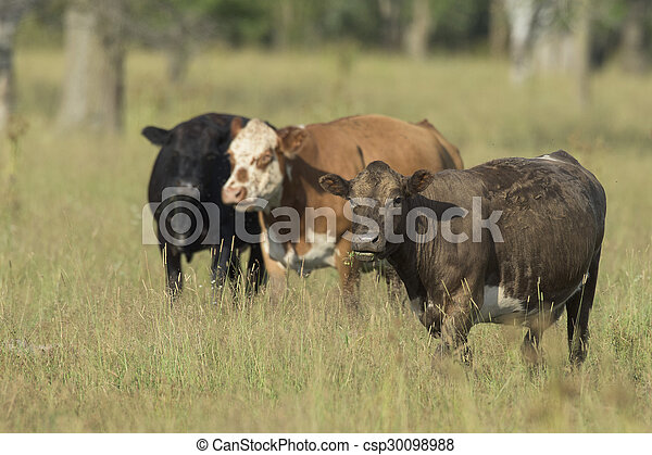 Beef Cattle in a pasture - csp30098988