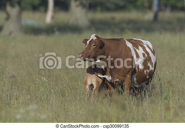 Beef Cattle in a pasture - csp30099135
