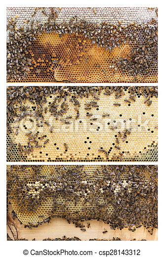 Beehive frames of honey bees. Three frames of apis mellifera, aka ...