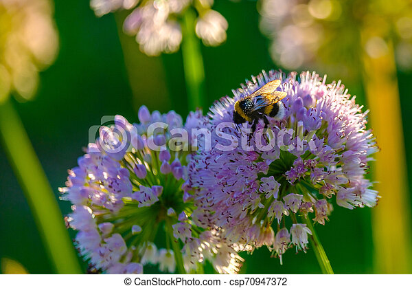 Bees and bumblebees collecting nectar from flowers in the rays of the morning sun - csp70947372