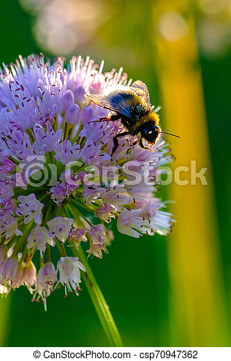 Bees and bumblebees collecting nectar from flowers in the rays of the morning sun - csp70947362