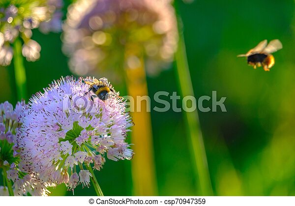 Bees and bumblebees collecting nectar from flowers in the rays of the morning sun - csp70947359