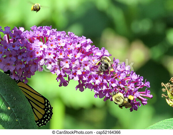 Bees and Monarch Butterfly on a buddleja flower - csp52164366