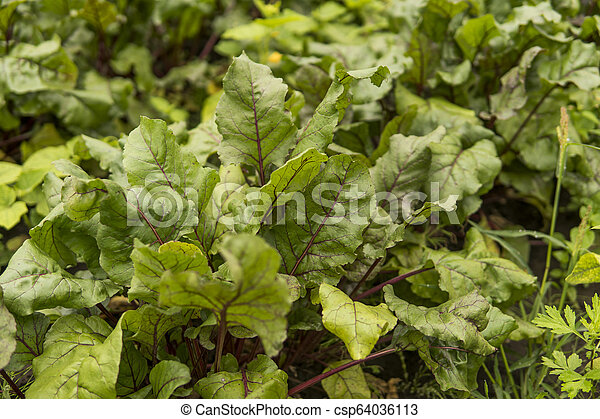 Beet green leaves growing in the garden. - csp64036113