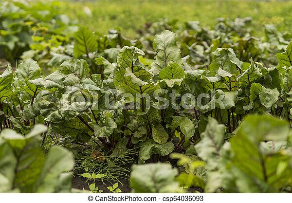 Beet green leaves growing in the garden. - csp64036093
